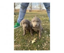 Purebred AKC silver lab puppies for Adoption