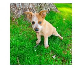 9 weeks old sweet and friendly Red heeler puppy for sale