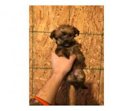 4 Morkie Puppies for Sale