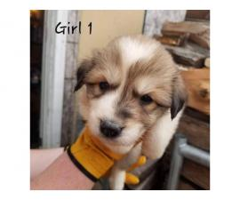 Great Pyrenees / Aussie puppies available