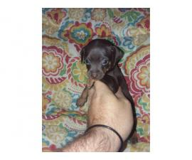 9 min pinpuppies for sale