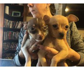 Chihuahuas for sale 2 boys and 3 girls