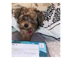 Male yorkie / shih tzu puppy