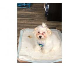 White Maltipoo Puppy for Sale
