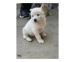 8 Huskies Puppies Nice gift for Christmas