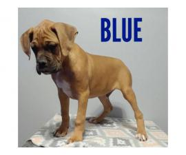 Purebred AKC Boxer puppies available