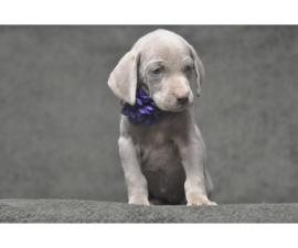 Beautiful weimaraner puppies available for Thanks Giving