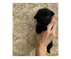 3 female Shiranian puppies available