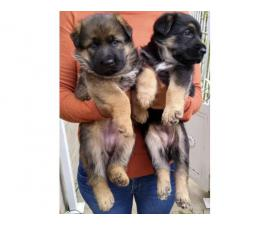 2 Females left  German Shepherd puppies