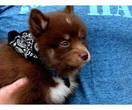 10 weeks old F2 Pomsky puppy for sale