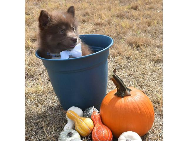 10 Weeks Old F2 Pomsky Puppy For Sale In Austin Texas Puppies For Sale Near Me