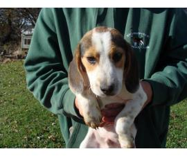 Male Beagle Puppies