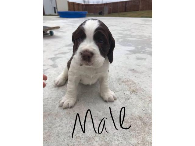 Akc Reg English Springer Spaniels For Sale In Billings Montana Puppies For Sale Near Me