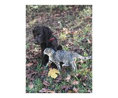 Rehoming Male Boykin Spaniel puppy