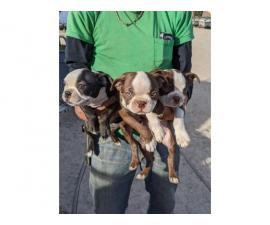 9 weeks old Boston terrier puppies for adoption