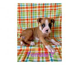 4 females and 1 male boxer puppies available