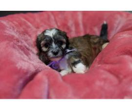 2 Females Havanese Puppies