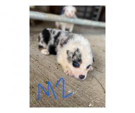 7 males and 3 females Australian Shepherd puppies