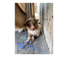 7 males and 3 females Australian Shepherd puppies
