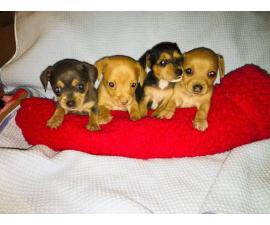 Chiweenie puppies ready for their new home