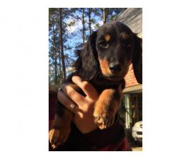 Long haired Mini Dachshund for Adoption