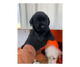 Akc  chocolate and black registered lab puppies available