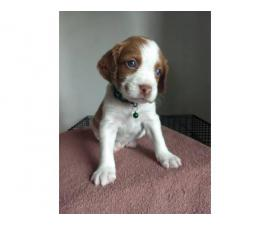 6 Brittany Puppies for sale