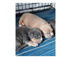 Blue and Fawn American Bully Champion Bloodline puppies