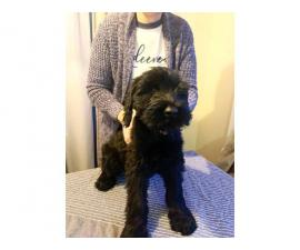 AKC registered Giant schnauzer male puppies for sale