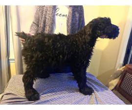 AKC registered Giant schnauzer male puppies for sale in ...