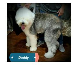 5 Old English sheepdogs puppies