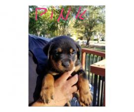 Ready to go - 8 weeks old Rottweiler puppies
