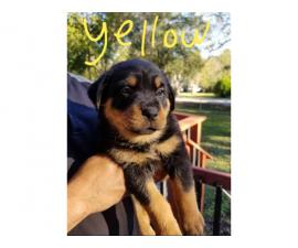Ready to go - 8 weeks old Rottweiler puppies in Houston ...