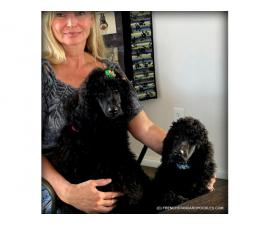 Campion Sired Black Standard Poodles for the Best Homes Only