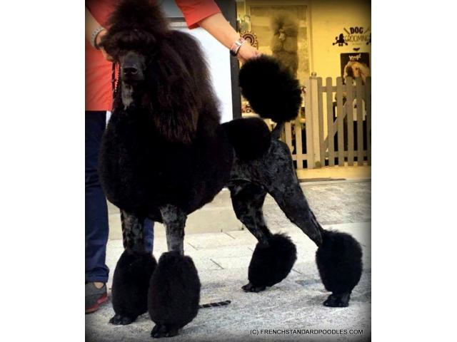 Campion Sired Black Standard Poodles For The Best Homes Only In Redmond Oregon Puppies For
