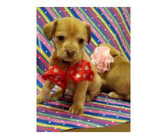 Shichi Puppy Chihuahua / Shih TzuMix