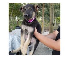10 weeks old German Shepherd Puppies