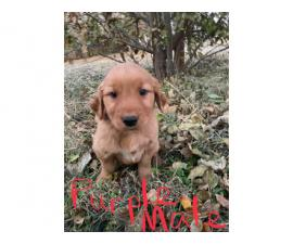 AKC Golden retriever puppies ready to leave this weekend