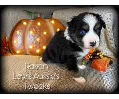 Female AKC Aussie Puppies Blue eyes standard size