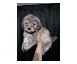 2 Cavapoo Puppies up for Adoption