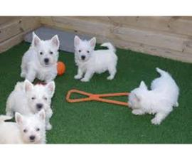Adorable Westie Puppies Available Now