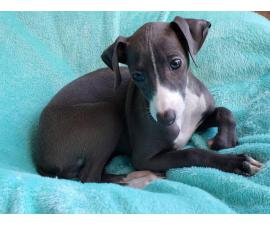 11 weeks old Purebred Italian Greyhound puppy