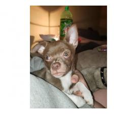 4 months old male Chihuahua for rehoming
