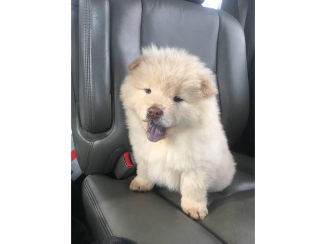 8 weeks old Purebred Chow Chow Puppies in Garfield Heights ...