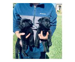 AKC Black German Shepherd Puppies for adoption