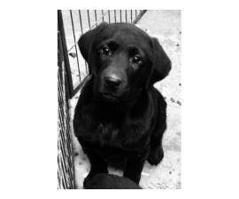 Black lab puppies male and female