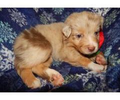 Rehoming Australian Shepherd Puppies