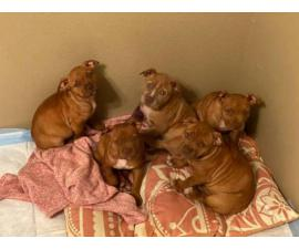 5 Razor's Edge Bully Puppies available