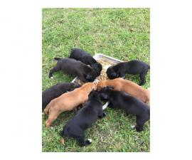 7 weeks old Boxer Puppies need a great family
