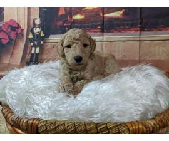 Standard Poodles w/ AKC registration